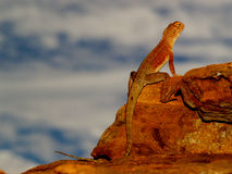 Lizard in the Outback. Lizard resting on Rock in the Outback, sunset royalty free stock image