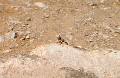 Lizard Over a Rock Royalty Free Stock Images