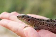 Lizard on a palm stock images