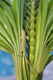 Lizard on palm 2. Closeup of green lizard on palm frond florida Stock Images