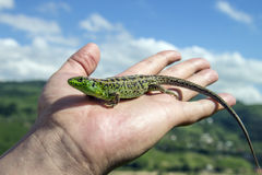 Lizard on the palm Stock Images