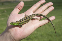 Lizard on the palm Stock Image