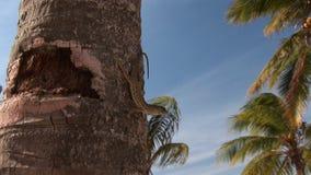 Lizard on palmtree. A lizard on a palm tree stock video footage