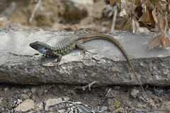 Lizard on a Path, Tenerife, Canary Islands, Spain, Europe Royalty Free Stock Images