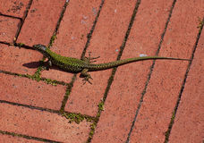 Lizard on pavement in the sun Stock Photos