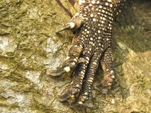 Lizard paw with claws close-up on a tree in the jungles of Sri Lanka. stock photography