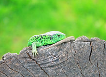Lizard on a Peace of Wood Stock Photos
