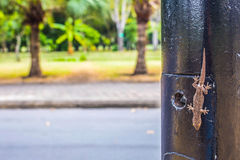 Lizard perched on a pole Royalty Free Stock Photo