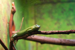 Lizard perched on a tre limb Stock Image