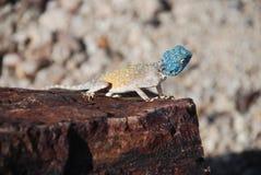 Lizard at Petrified Forest, Khorixas, Namibia Stock Images