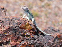 Lizard on Petrified Wood Stock Photo