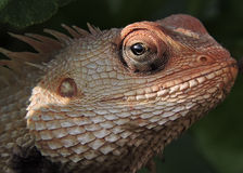 Lizard. Photographed in north karnataka,india Royalty Free Stock Images