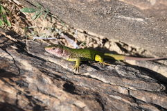 The lizard Royalty Free Stock Images