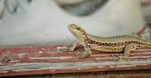 Lizard. Photography of lizard on window Stock Photos