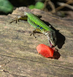 A lizard and a piece of watermelon. Royalty Free Stock Images