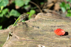 A lizard and a piece of watermelon. Royalty Free Stock Photo