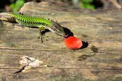 A lizard and a piece of watermelon. Royalty Free Stock Photography