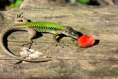 A lizard and a piece of watermelon. Stock Photography