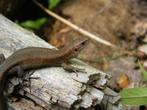 A lizard on the piece of wood Stock Image