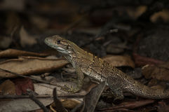Lizard in leaves Royalty Free Stock Photo