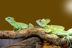 Lizard Plumed basilisk Stock Image