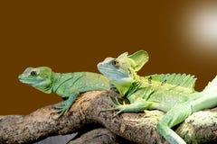 Lizard Plumed basilisk Royalty Free Stock Photo