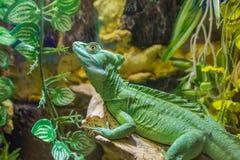 Lizard Plumed basilisk Royalty Free Stock Images