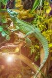 Lizard Plumed basilisk Stock Images