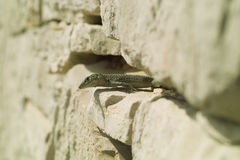 The Lizard (Podarcis melisellensis). On stone surface Royalty Free Stock Images