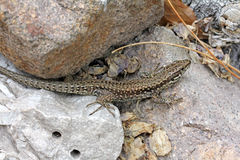Lizard (podarcis muralis) Stock Photo