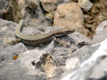 Lizard. Podarcis taurica, lizard on a rock in Crimean mountains Stock Images