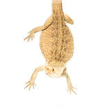 Lizard pogona viticeps handing on tail Stock Photos