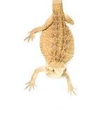 Lizard pogona viticeps handing on tail. On white background Stock Photos