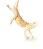 Lizard pogona viticeps handing on tail. On white background Stock Images