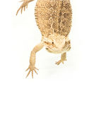 Lizard pogona viticeps handing on tail Royalty Free Stock Photo
