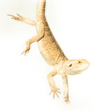 Lizard pogona viticeps handing on tail Stock Photography