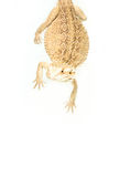 Lizard pogona viticeps handing on tail Royalty Free Stock Photography