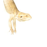 Lizard pogona hanging on tail Royalty Free Stock Image