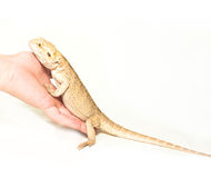 Lizard pogona viticeps on white Royalty Free Stock Images