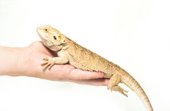 Lizard pogona viticeps sitting in hand Royalty Free Stock Photography