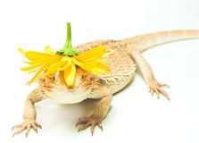 Lizard pogona viticeps on white background Stock Photos
