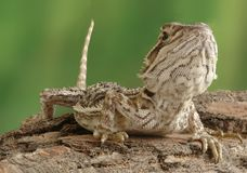Lizard Pogona vitticeps Stock Photos
