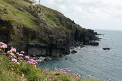 Lizard Point Cornwall UK. View of Cliffs in Lizard Point Cornwall UK, sharp pink flowers in foreground, blurred cliffs in the background Royalty Free Stock Image