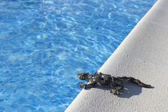 Lizard on  a pool royalty free stock image