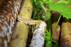 lizard pops up between old pipes stock photo
