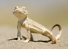 Lizard portait Stock Photography