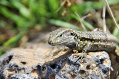 Lizard portrait Royalty Free Stock Photo