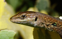 Lizard portrait. Portrait of domestic lizard in the garden Stock Image