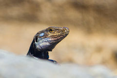 Lizard portrait Stock Photos