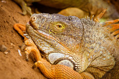 Lizard portrait Stock Images